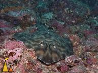 Guitarfish on the Lookout, Isla Coiba, Panama, underwater, fish, shark, Zapteryx xyster