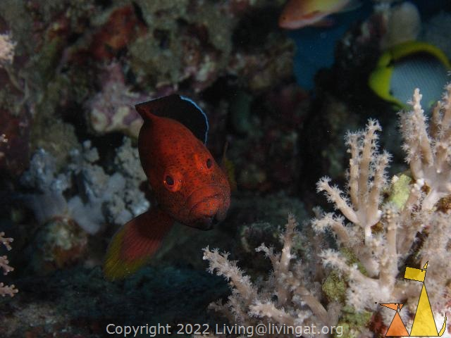 Halfspotted checking me out, Red Sea, Egypt, underwater, fish, Halfspotted grouper, Cephalopholis hemistiktos