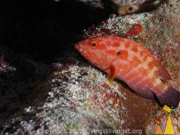 Halfspotted resting, Red Sea, Egypt, underwater, fish, Halfspotted grouper, Cephalopholis hemistiktos