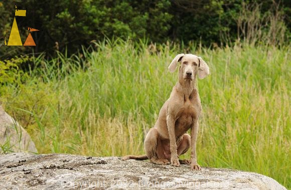 Happy Doris, Landet, Sweden, dog, Canis lupus familiaris, Doris, Weimaraner, The Grey Ghost