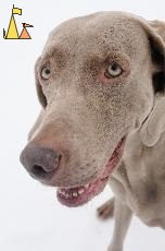 Happy Girl, Djurgården, Stockholm, Sweden, dog, Canis lupus familiaris, Doris, Weimaraner, The Grey Ghost