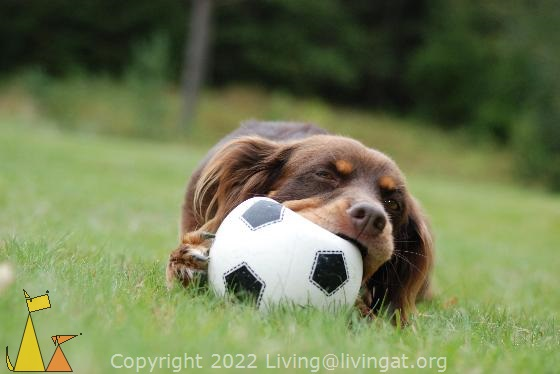 Happy dog, Landet, Sweden, female, Koffi, dog, bitch, ball, Canis lupus familiaris