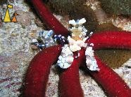 Harlequin shrimp, Black rock, Burma, underwater, Harlequin shrimps, Hymenocera elegans, Myanmar