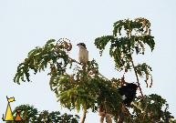 Having a look around, Pattaya, Thailand, bird, tree, Lanius cristatus, Brown shrike, White-vented myna, Acridotheres grandis