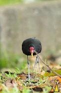 Head-On, Ammo Dump, Canal, Panama, bird, black, Jacana jacana, head on