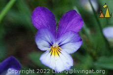 Heartsease, Älgö, Stockholm, Sweden, plant, flower, Viola tricolor, Heartsease