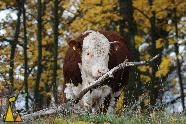 Hereford bull, Angarn, Stockholm, Sweden, mammal, cattle, Bos taurus, cow, Hereford, bull, autumn