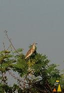 Heron in a tree, Stung Sankor, Cambodia, bird, Ardeola bacchus, Chinese pond heron