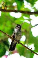 Hiding in a Bush, Canopy Tower, Panama, bird, hummingbird, Amazilia amabilis, branch