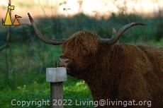 Highland cattle bull, Djurgården, Stockholm, Sweden, mammal, cattle, Highland cattle, Bos tarus, bull, salt stone