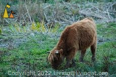 Highland cattle calf, Djurgården, Stockholm, Sweden, mammal, cattle, Highland cattle, Bos tarus, calf