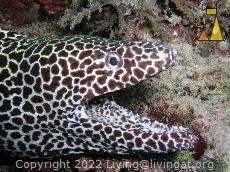 Honeycomb moray, Maldives, Honeycomb moray, Gymnothorax favagineus, Maldives