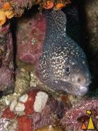 Hourglass moray in a hole, Isla Coiba, Panama, underwater, fish, Muraena clepsydra, moray