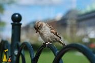 House sparrow, Kungsträdgården, Stockholm, Sweden, bird, fence, House sparrow, Passer domesticus