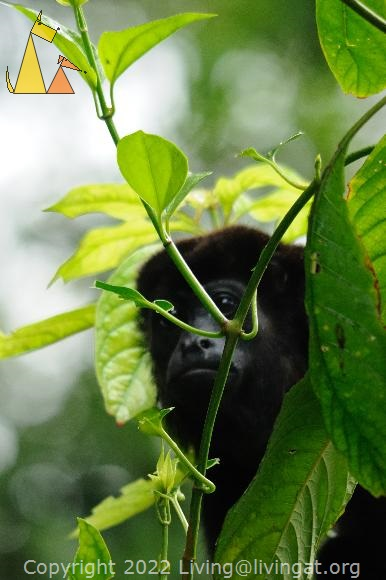 Howler peeking at me, Canopy Tower, Panama, mammal, Alouatta palliata, Mantled Howler, monkey, leaf, peek