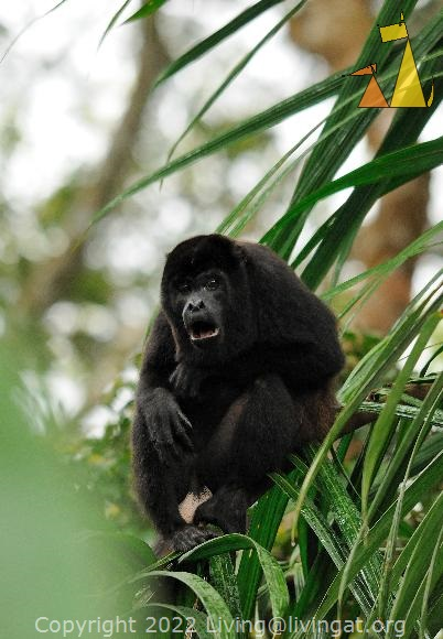 Howling Howler, Canopy Tower, Panama, mammal, Alouatta palliata, Mantled Howler, monkey, balls