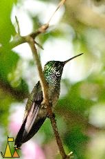 Hummingbird in Profile, Canopy Tower, Panama, bird, hummingbird, Amazilia amabilis, branch, profile