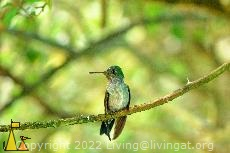 Hummingbird on a Stick, Canopy Tower, Panama, bird, hummingbird, Amazilia amabilis, green