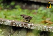 Huse Wren on the Rail, Ammo Dump, Canal, Panama, bird, rail, Troglodytes aedon