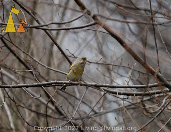 In a bush, Gärdet, Stockholm, Sweden, bird, Carduelis chloris, European Greenfinchm bush