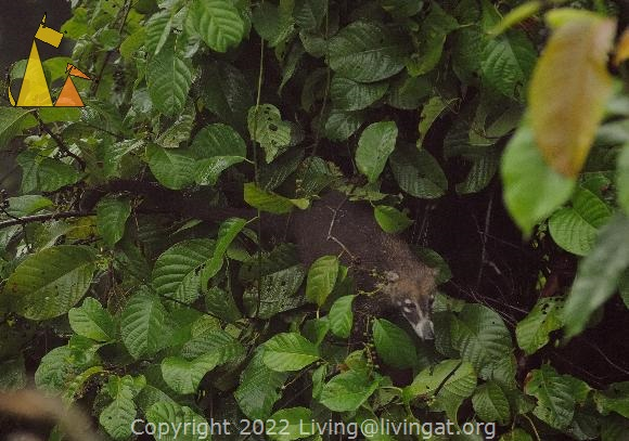 In a tree, Canopy Tower, Panama, mammal, White-nosed coati, Nasua narica, tree, eating