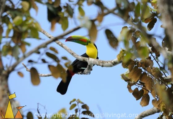In a tree top, Ammo dump, Panama Canal, Panama, bird, tucan, guinness, Keel-billed Toucan, Ramphastos sulfuratus