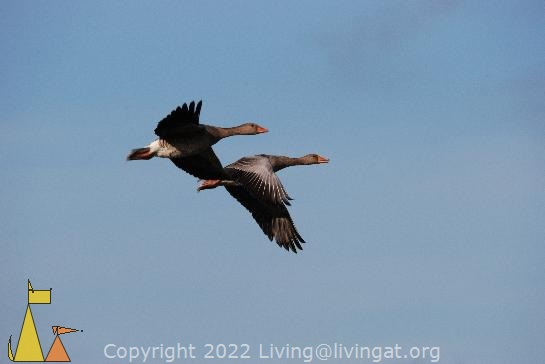 In flight, Angarn, Sweden, bird, flying, Greylag Goose, Anser anser