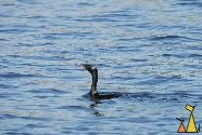 Indian cormorant, Stung Sankor, Cambodia, silhouette, bird, floating, swimming, Indian cormorant