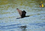 Indian cormorant, Stung Sankor, Cambodia, silhouette, bird, flying, Indian cormorant