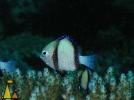 Indian dascyllus, Nosy Bee, Madagascar, underwater, fish, Indian dascyllus, Dascyllus carneus