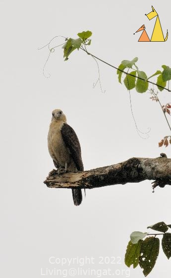 Intrested Caracara, Canopy Tower, Panama, bird, bird of pray, Milvago chimachima, scavenger, overcast