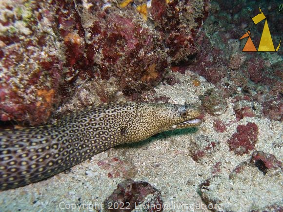Jewel Moray Portrait, Isla Coiba, Panama, underwater, moray, fish, Muraena lentiginosa