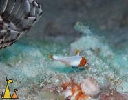 Juvenile Bicolour parrot, Red Sea, Egypt, underwater, fish, juvenile, Bicolour parrot, Cetoscarus bicolor