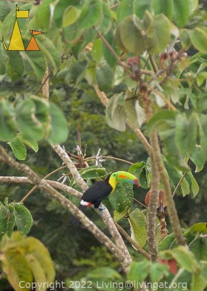 Keel-billed Toucan, Canopy Tower, Panama, bird, tree, Keel-billed Toucan, Ramphastos sulfuratus