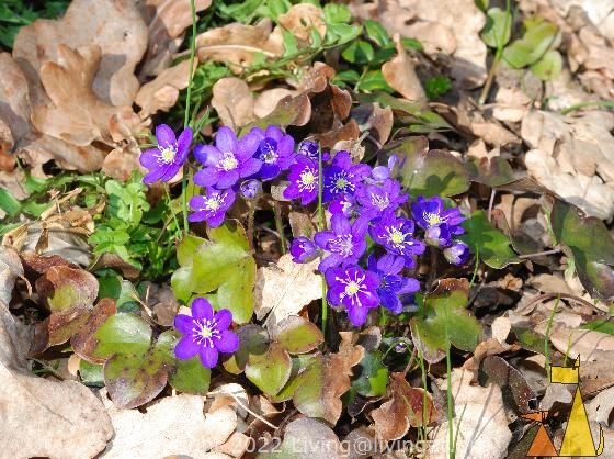 Kidneywort, Angarn, Stockholm, Sweden, plant, flower, blue flower, Kidneywort, Hepatica nobilis