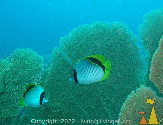 Lined butterflyfish, Nosy Bee, Madagascar, underwater, fish, pair, Lined butterflyfish, Chaetodon lineolatus