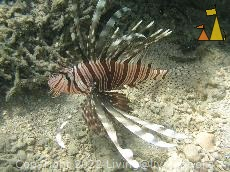 Lionfish, Anakao, Madagascar, underwater, fish, Lionfish, Pterois volitans