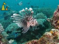 Lionfish, Sabang, Philippines, underwater, fish, Lionfish, Turkeyfish, Pterois volitans