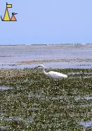 Little Egret, Anakao, Madagascar, bird, hunting, Little Egret, Egretta garzetta