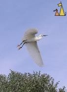 Little Egret, Anakao, Madagascar, bird, taking off, Little Egret, Egretta garzetta