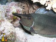 Long-nose unicorn, Red Sea, Egypt, Long-nose unicornfish, Naso brevirostris, Red sea, Egypt