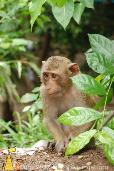 Long-tailed, Phnom Penh, Cambodia, monkey, mammal, Long-tailed Macaque, Macaca fascicularis
