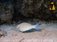 Longnose from behind, Red Sea, Egypt, underwater, fish, Longnose Parrotfish, Hipposcarus harid