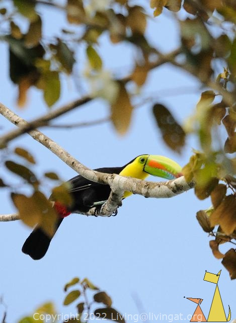 Look at that beak, Ammo dump, Panama Canal, Panama, bird, tucan, guinness, Keel-billed Toucan, Ramphastos sulfuratus