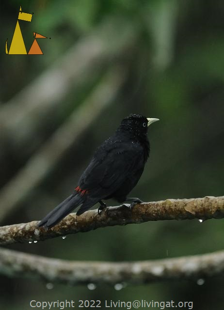 Looking away, Canopy Tower, Panama, bird, Cacicus uropygialis, black, Scarlet-rumped Cacique, from behind