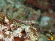 Lubbock's Blenny, Similan, Thailand, underwater, fish, Lubbock's Blenny, Ecsenius lubbocki
