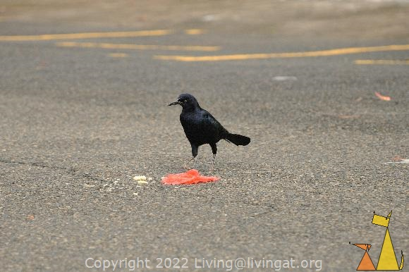 MNale Great-tailed Grackle, Panama City, Panama, asfalt, street, bird, Quiscalus mexicanus