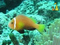 Maldives anemonefish, Maldives, Maldives anemonefish, Amphiprion perideraion, Maldives