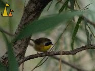 Male Common Yellowthroat, Black Dog, Minneapolis, USA, bird, male, Common Yellowthroat, Geothlypis trichas