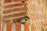 Male House Sparrow, Madrid, Spain, bird, brick, Passer domesticus